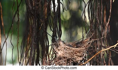 Bird (Streak-eared bulbul) and baby in nest - Bird...