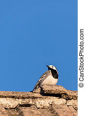 Nice portrait of wagtail bird - Vertical photo of small bird...