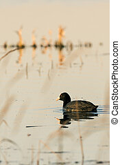 Black coot bird on evening pond - Vertical photo of nice...