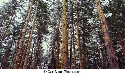 Spruce forest in winter in the mountains - Snow-covered...