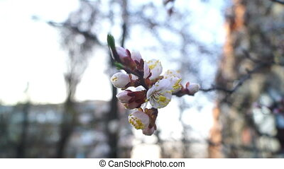 Flowers trees spring - Flower hangs in front of cherry and...