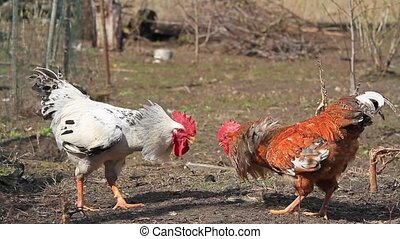 Roosters attacking each other at cockfight