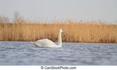 Single white swan floating on the lake