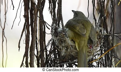 Bird (Streak-eared bulbul) and baby in nest