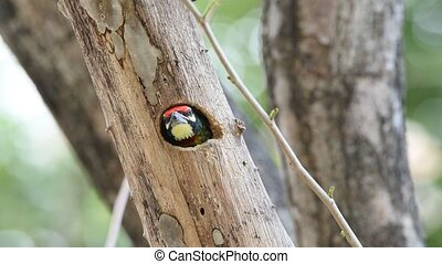 Bird (Coppersmith barbet) in hollow tree trunk - Bird...