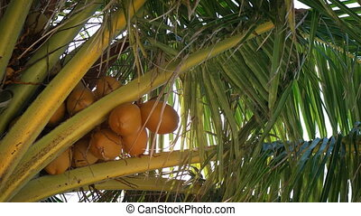 Fronds of a Coconut Palm Fluttering in a Tropical Breeze -...