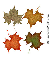 Autumn fall leaves isolated on white background for clip-art...