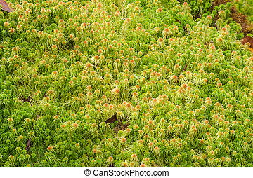 Sphagnum moss. - Sphagnum moss growing in the rainforrest....