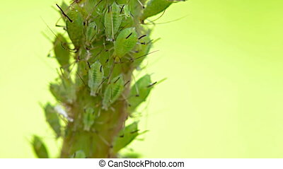Aphids, a parasitic insect species, feeding on a plant stem...