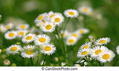 Erigeron annuus is a herbaceous plant - Erigeron annuus -...