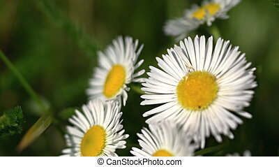 Closeup of Erigeron annuus flowers, waving in a gentle...