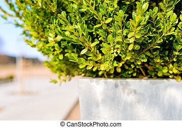 Fresh spring boxwood in white pot - bright copy space for...