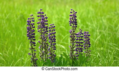 Clustered specimen of wild lupinus, with its lavender...