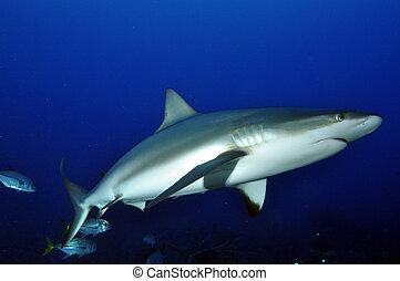 arrecife, tiburón, 2