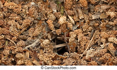 Forest ants equip its nest. FullHD footage 1080p