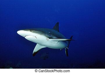 arrecife, tiburón