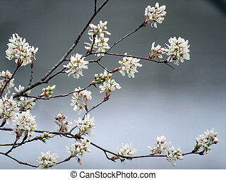 Star magnolia flowers on a coast of the Potomac River