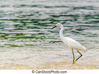 Snowy Egret by park national tayrona in Colombia