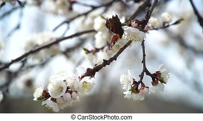 Butterfly Flies Above Blooming Apricot Tree In Spring