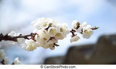 Bees Flies Above Blooming Apricot Tree