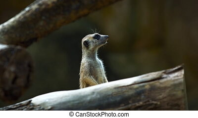 Meerkat guard entrance to the dwelling. - Meerkat guard the...