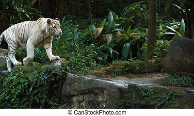 A rare white tiger. Footage FullHD 1080p