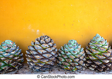 Blue Agave and a Yellow Wall - Blue agave pineapples against...