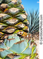 Cut Blue Agave Plants - Vertical view of blue agave...
