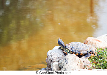 Red Eared Slider Turtle on the shore