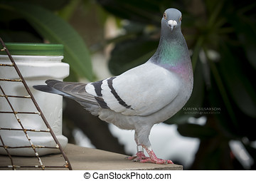 pigeon bird full body