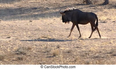 Blue Wildebeest walking in the Kalahari