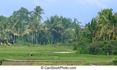 Peasant working in the rice fields. Bali, Indonesia - The...