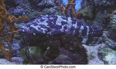Queensland groper in saltwater aquarium stock footage video...