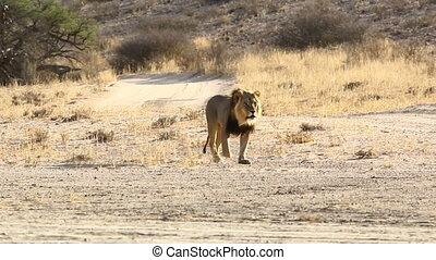 Adult Male Lion Walking in the Kalahari