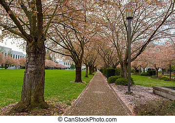 Cherry Blossom Trees along Path at Park in Salem Oregon -...