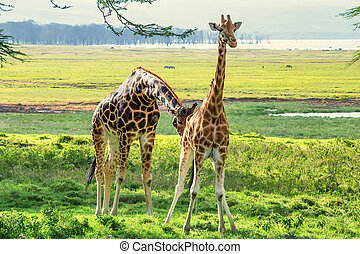 Pair of Ugandan giraffes browses in savannah - Savanna...