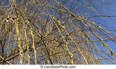 Blossoming buds on the willow branches wobble in the wind. Against the blue sky.