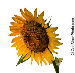 Sunflower isolated on white background with a clipping path.