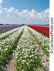 rows of blooming flowers - dutch landscape with colorful...