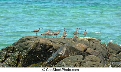 Fling of eight Far Eastern curlews, perched on beach rock in...