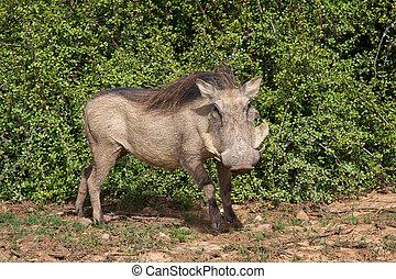 Warthog - A warthog Phacochoerus aethiopicus in the Addo...