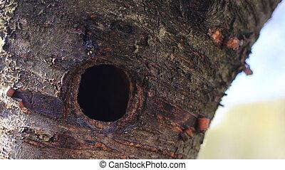 Woodpecker hole in a tree