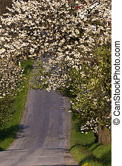 road with alley of apple trees in bloom