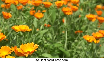 Marigold herb plant blooms move in wind in rural garden...