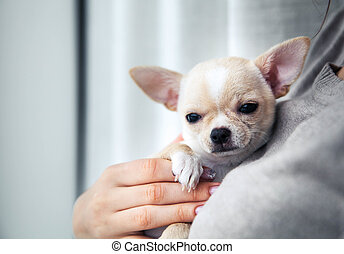 chihuahua puppy in the hands of a girl with a nice manicure.
