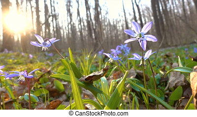 Closeup of snowdrops in the forest on sunlight swaying at...