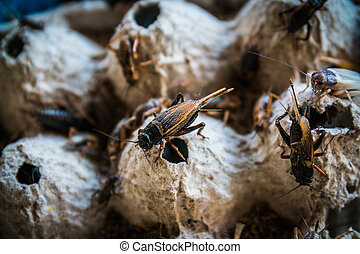 close up of Crickets in farm, For consumption as food And...