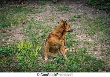 Red dog going to scratching her side