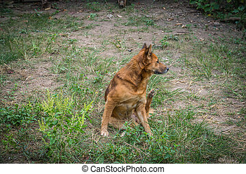 Red dog going to scratching her ear - A Red dog going to...
