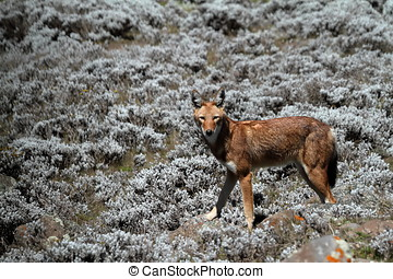 The Ethiopian wolf in the Bale Mountains of Ethiopia in...